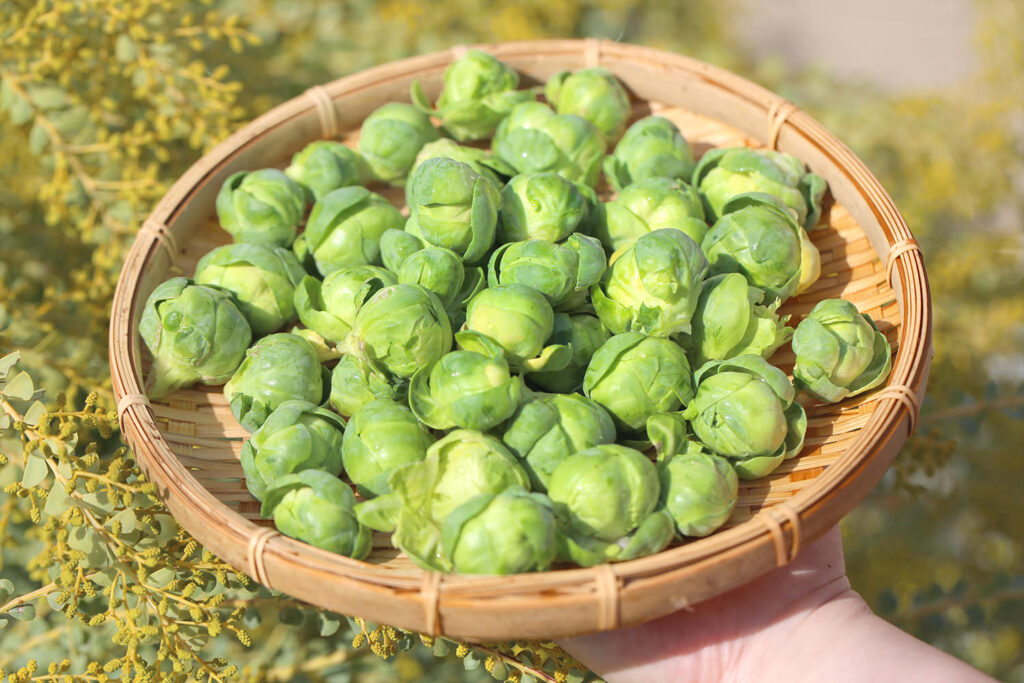 Brussels sprouts 芽キャベツ 家庭菜園
