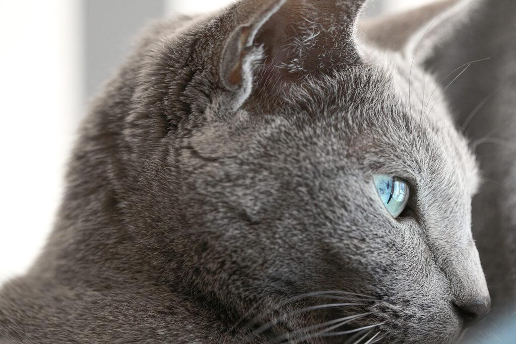 Russian Blue ロシアンブルー Cat 猫