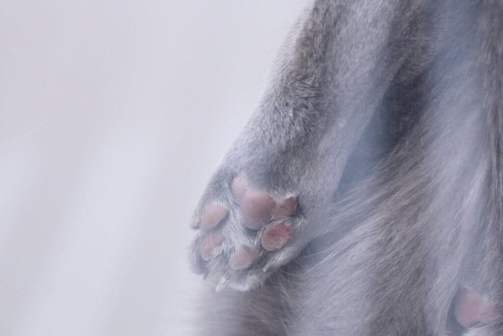 RussianBlue AO-Chan Malignant lymphoma Cat ロシアンブルー 悪性リンパ腫