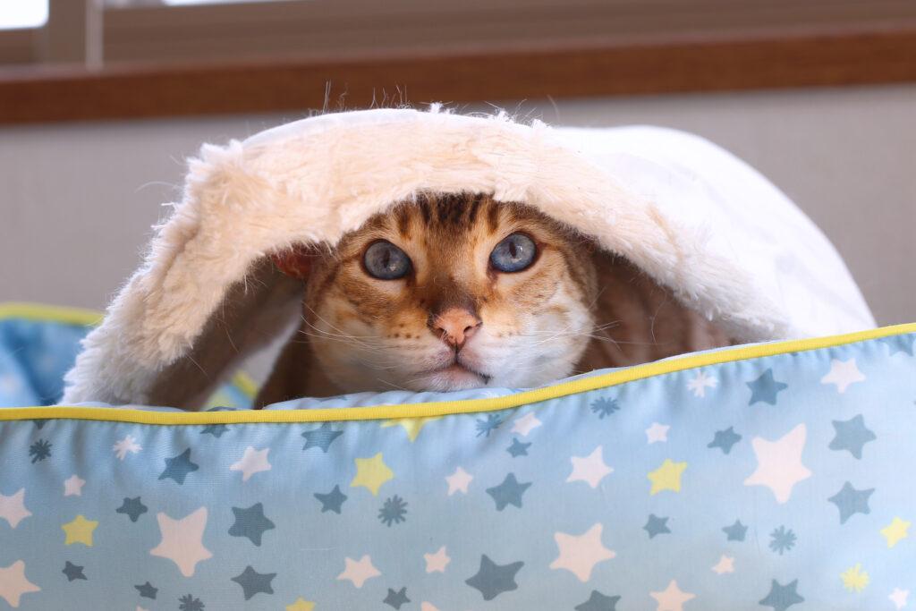 猫 スノーベンガル ベンガル cat bengal TICA だいちゃん