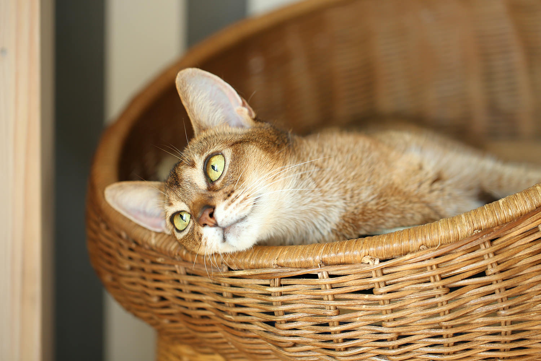 猫と一緒にグリーンライフ アビシニアン