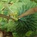 Platycerium madagascariense マダガスカリエンセ ビカクシダ 栽培記録 2018/11/30
